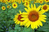 Sunflower Over Field Background
