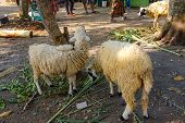 Close Up Of Sheep On Road In Nature. Amazing Nature. Close Up Of A Sheep In Nature. Sheep. Nature. S poster
