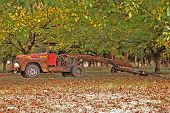 stock photo of pecan tree  - Vintage Walnut Picker  - JPG