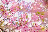 Wild Himalayan Sakura Cherry Blossom Flower. Blooming Pink Flora Tree poster