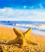 pic of starlet  - Sea Starlet Starfish called Wanda - JPG