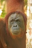 Portrait Of Female Orangutan, Sumatra, Indonesia