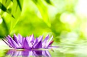 pic of lily  - water lily float on water with natural green background - JPG