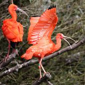 stock photo of scarlet ibis  - Details of a perching scarlet ibis in captivity - JPG