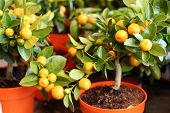 image of tangerine-tree  - decorayive interior tangerine trees with fruits on them - JPG
