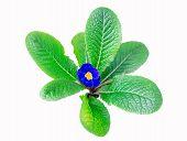 spring blue primula