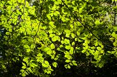 Background Picture Off Green Leaves