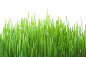 pic of early spring  - Green grass isolated on white background shallow DOF - JPG