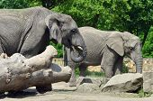 Male and female elephants in Warsaw ZOO