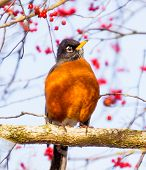 stock photo of songbird  - American Robin Turdus migratorius is migratory songbird thrush family - JPG