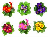 Set Of Colorful Primula Isolated Over White Background