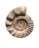picture of petrified  - Fossil of an ammonite on white background - JPG