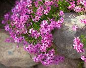 stock photo of creeping  - Colorful pink creeping phlox  - JPG
