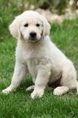 Golden Retriever Puppy Sitting On The Grass