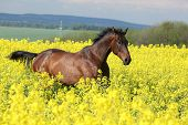 Brown Horse Running In Yellow Colza Field