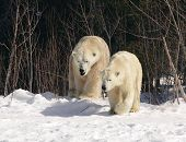 stock photo of mating bears  - taken at cochrane polar bear facility - JPG