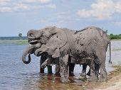 elephants at riverbank