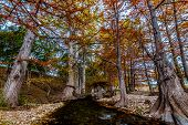 Cypress Trees with Beautiful Fall Color and Large Roots Lining the Crystal Clear Guadalupe River
