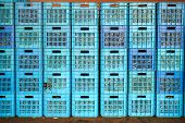 foto of crate  - many colored blue plastic crate with olives - JPG