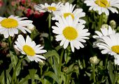 The beautiful daisy flowers