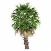 stock photo of washingtonia  - Palm tree isolated - JPG