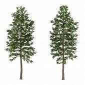 stock photo of pinus  - Tree pine isolated - JPG