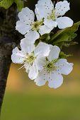 Bing Cherry Blossoms - Prunus avium