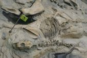 Fossils Rescued From Tar Pits