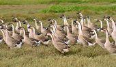 anser cygnoides, swan goose