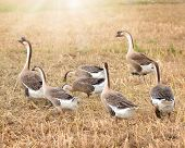domestic geese grazing in the rice fields