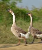 Walking goose Walking goose