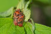 2 Red Spotted Spittle Bugs