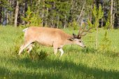 male Mule deer still in velvet, strolling in Yellowstone National Park