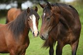 stock photo of beautiful horses  - Beautiful brown horses on pasturage in autumn - JPG