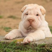 stock photo of shar-pei puppy  - Adorable Shar Pei puppy looking at you in the garden - JPG