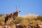 One Single Gemsbok Grazing On A Dune In The Kalahari