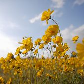 Beautiful Wild Flowers: Yellow Square