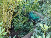 Green Peafowl - Pavo Muticus