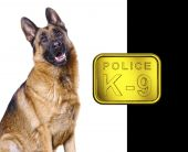 foto of german shepherd dogs  - german shepard isolated on white with k9 golden plate - JPG