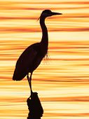 Grey heron, Ardea cinerea, silhouette standing on the sunset lake