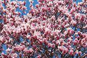 Magnolia Blossums 2