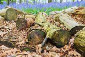 foto of manor  - Bluebell Woods In Coton Manor Northampton Uk  - JPG