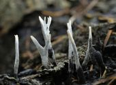 Candle Snuff Fungi - Xylaria hypoxylan