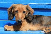 Longhair Dachshund puppy on weathered blue background.