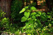 Green nettle