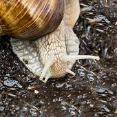 picture of hermaphrodite  - Burgundy snail in a garden after rain