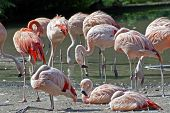The Colonies Of Chilean Flamingos