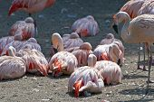 Chilean Flamingo - Pink Waterbirds