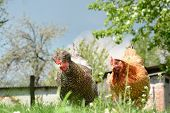 picture of chicken-wire  - Two chickens in the yard pecking crumbs of bread - JPG