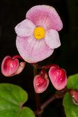 pic of begonias  - Pink begonia flower close up on dark background - JPG